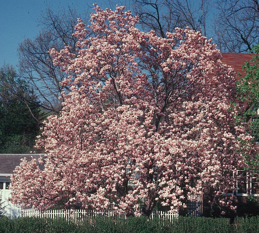 Magnolias existen macho y hembra cultivo o cuidados - Cuidados del magnolio ...