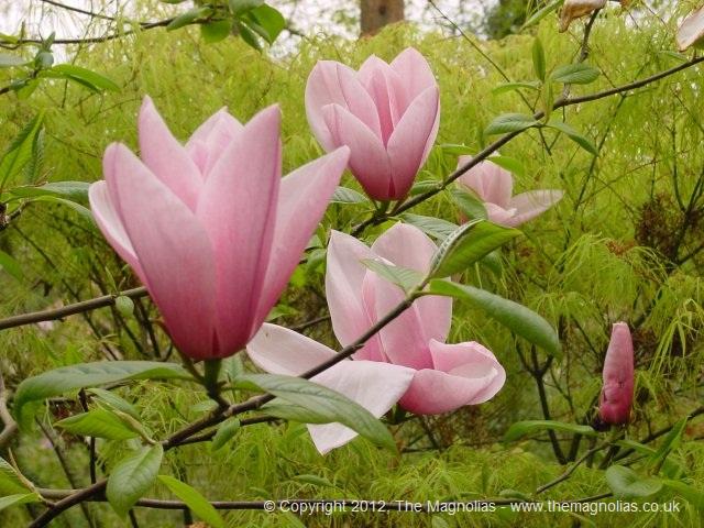 Esquejes de magnolia - Semilla de magnolia ...