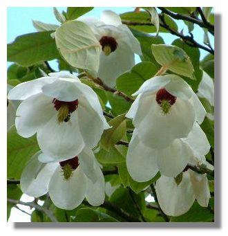 magnolia_wilsonii_greenbank9126a.jpg