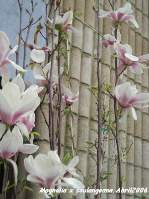 Magnolia 39 susan 39 en maceta en terraza experiencias - Cuidados del magnolio ...