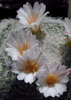Mammillaria_lenta2.jpg