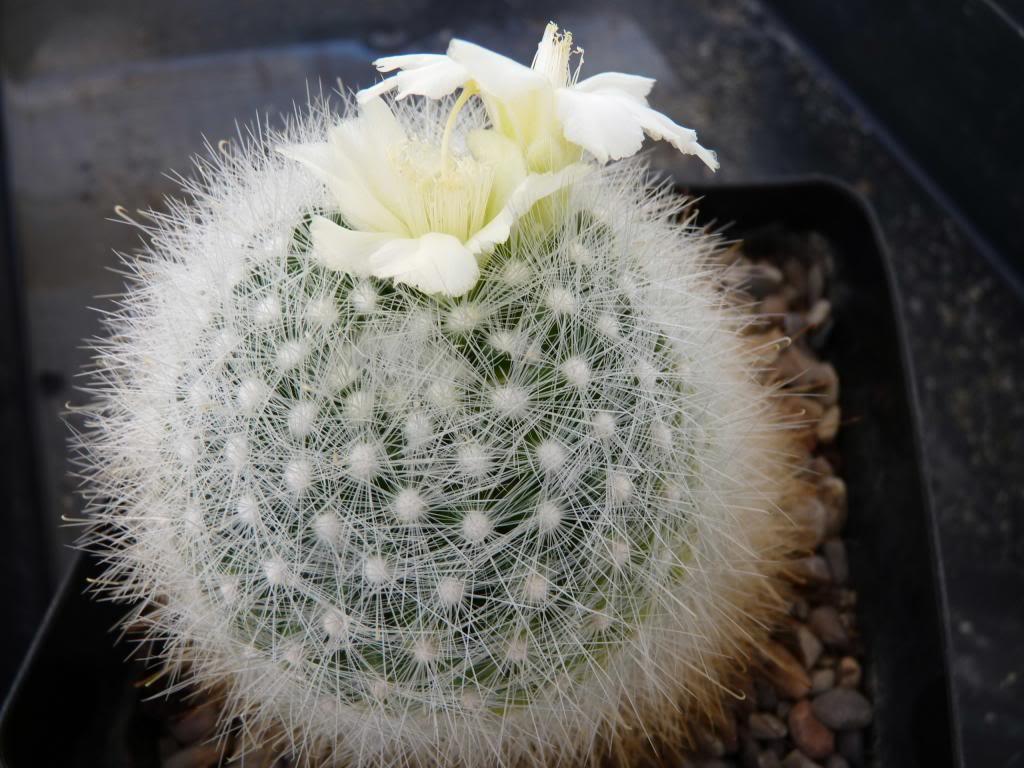 Mammillariasenilisalbiflora05_zps3106db92.jpg