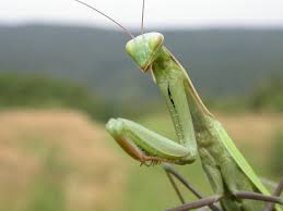 Mantis_religiosa.jpg
