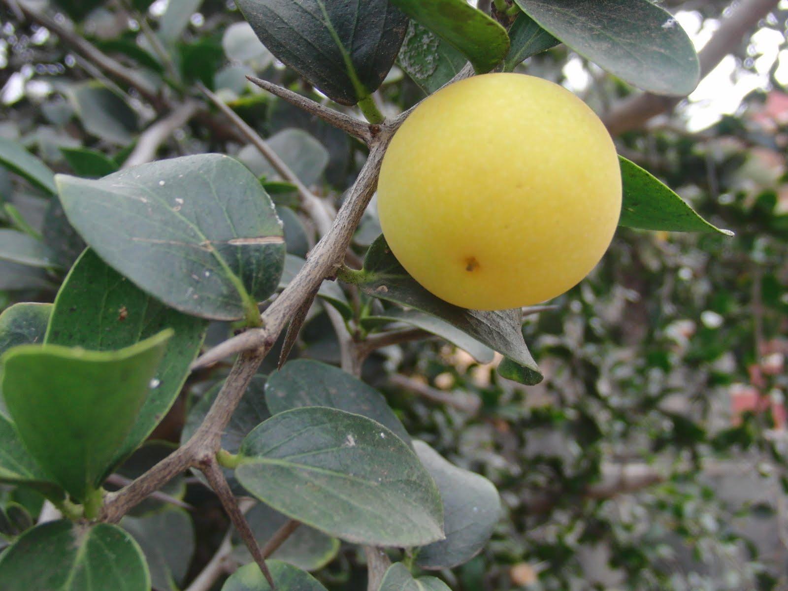 manzana+cafre+1.JPG