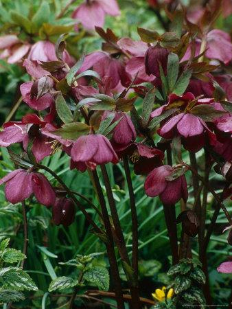 mark-bolton-helleborus-orientalis-hybrid-lenten-rose.jpg