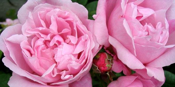 mary-rose-flowers.jpg