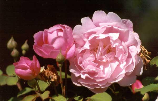 mary-rose.jpg