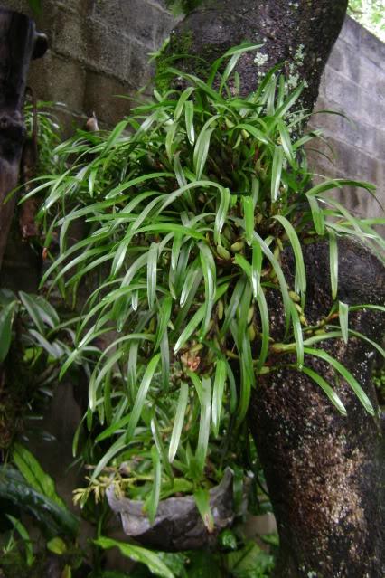 MaxillariaVariabilis10.jpg