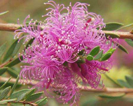 Melaleuca-thymifolia2.jpe