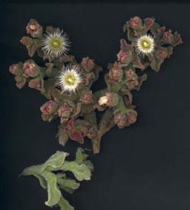 Mesembryanthemumcrystallin_sp.JPG