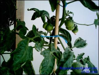 mh_tomateras_frutos_2.jpg