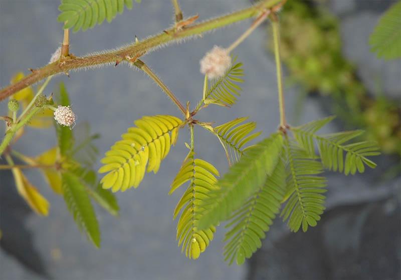 Mimosa%20amarillenta%202.jpg