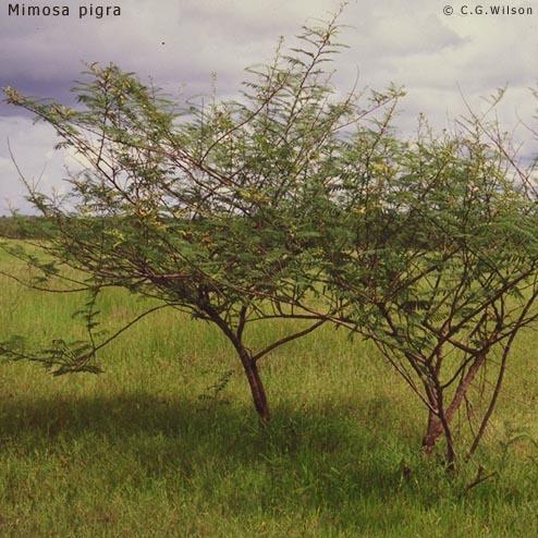 mimosa-pigra1.jpg