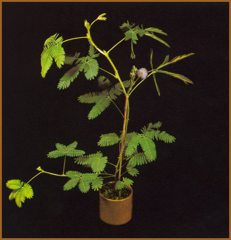 mimosa.pudica.jpg