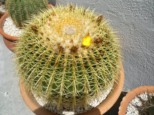 mis++cactus+140.JPG