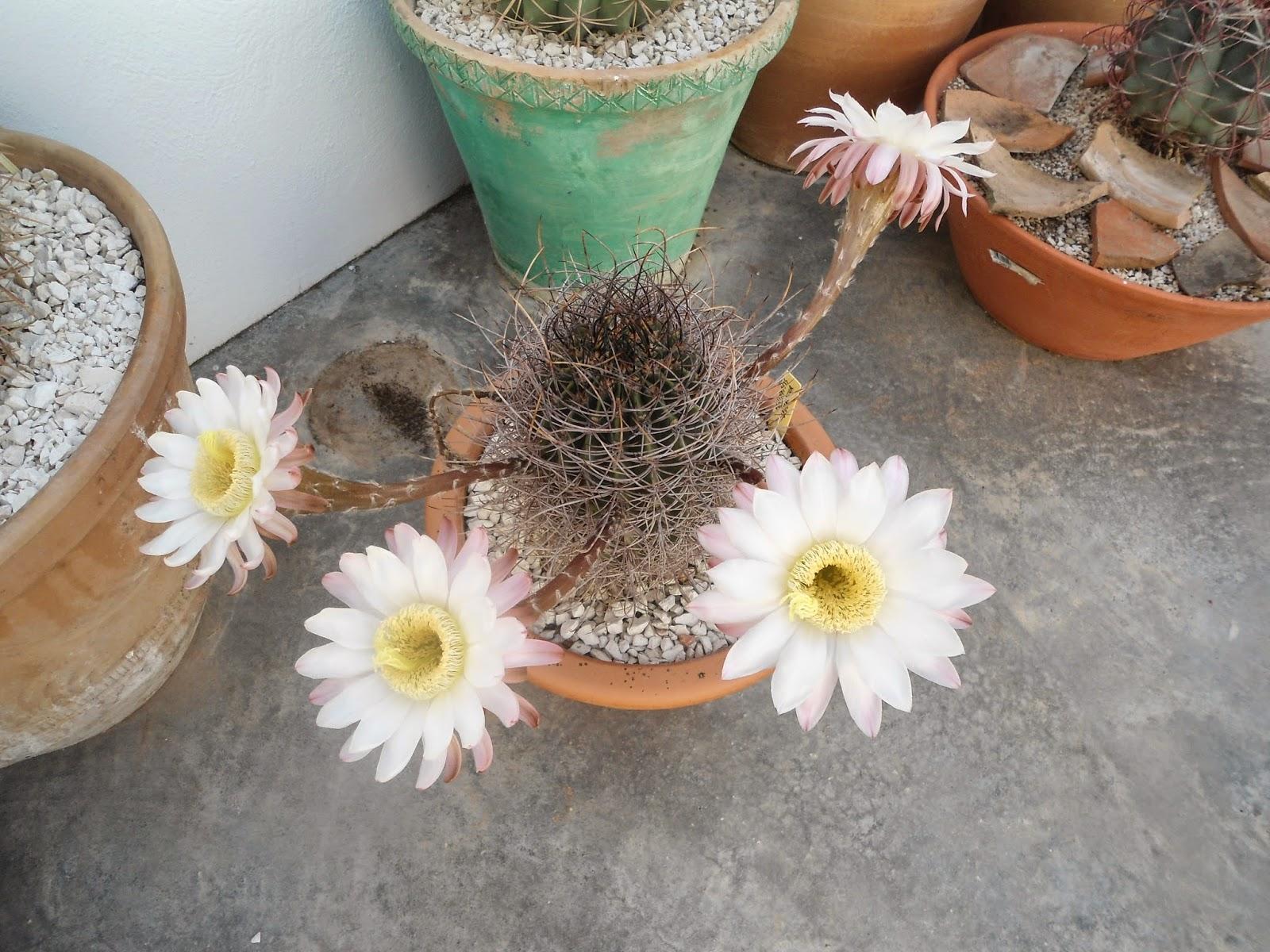 mis++cactus+142.JPG