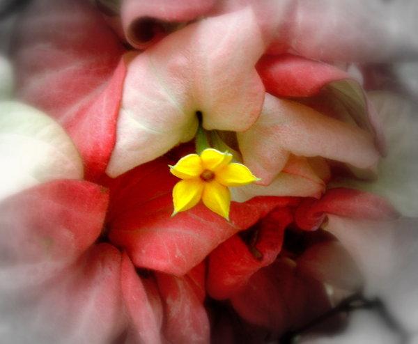Mussaenda_Erythrophylla_by_Allandgr8_art.jpg
