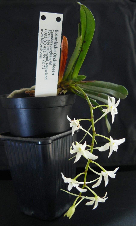 mystacidiumcapense1.jpg