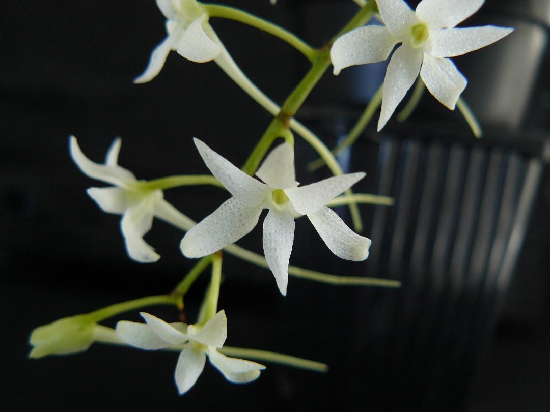 mystacidiumcapense2.jpg