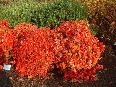 nandina_domestica_fire_power__086668400_1756_03022008.jpg