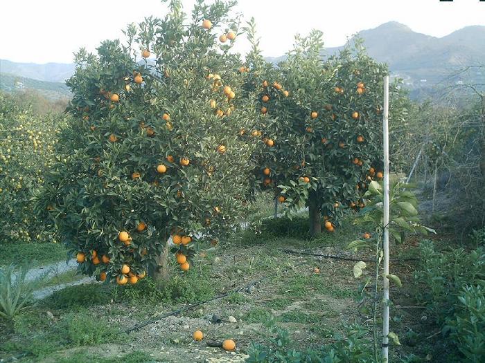 naranjos salustianos 3.JPG