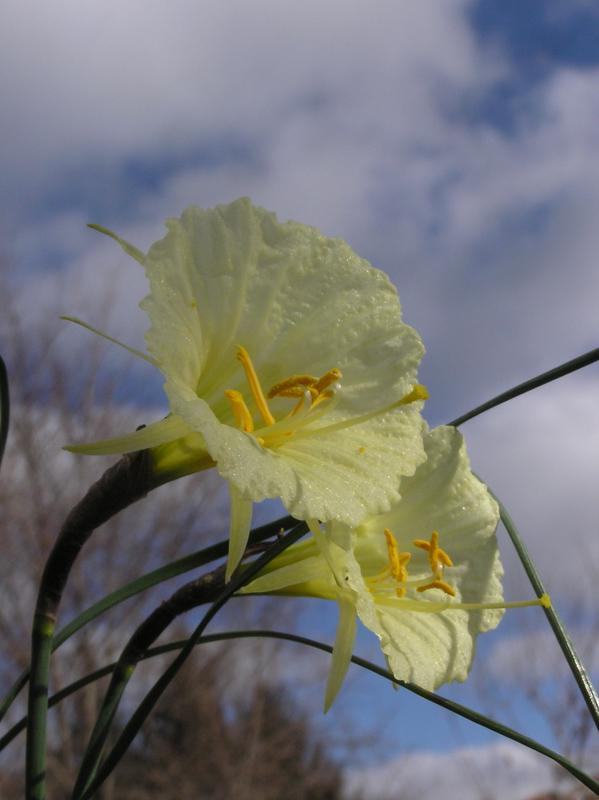 Narcissus-romieuxii.jpg