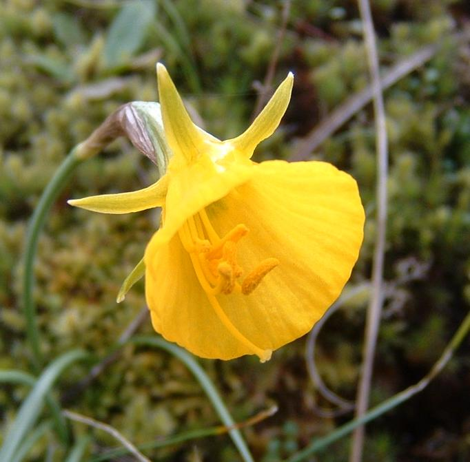 narcissus_bulbocodium.JPG