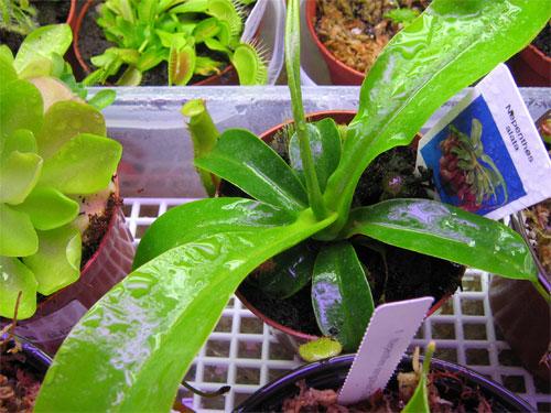 Nepenthes-alata-01.jpg