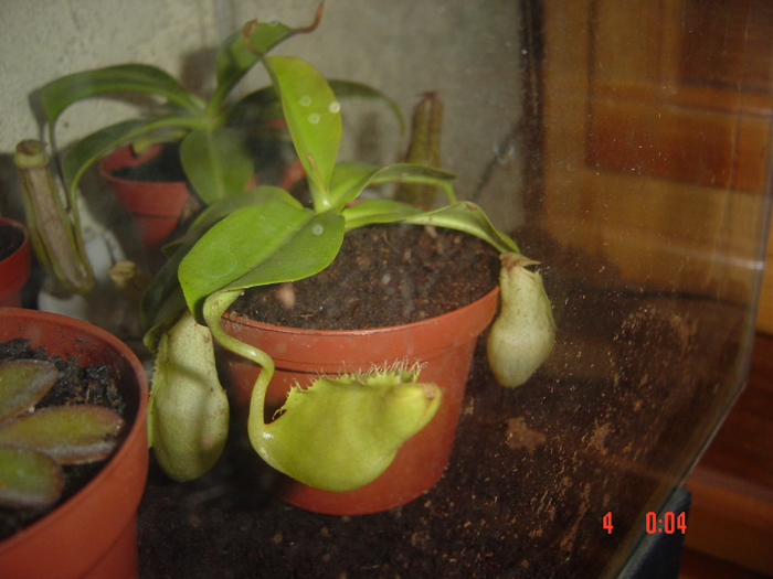 nepenthes_1.jpg