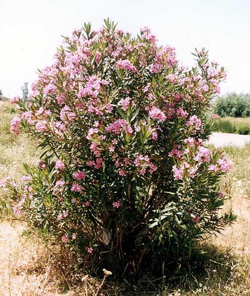 nerium_oleander.jpg