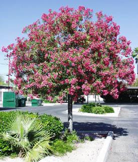Nerium_oleander_tree.jpg