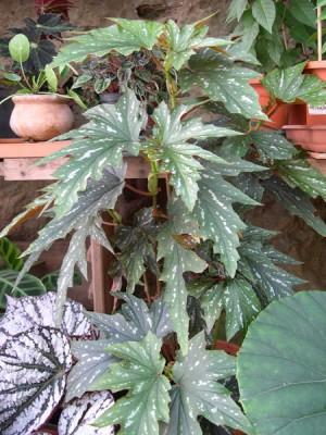 normal_03-09-05-049-Begonia.jpg
