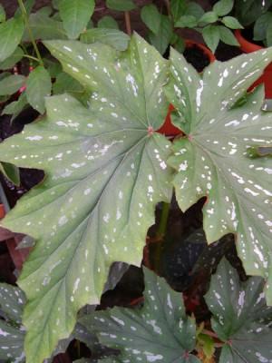 normal_11-09-05-028-Begonia%2C-hoja.jpg