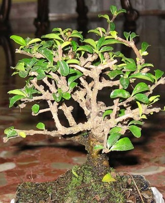 normal_bonsai1%7E1.jpg