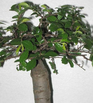 normal_bonsai2%7E0.jpg