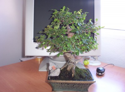normal_bonsai2%7E3.jpg