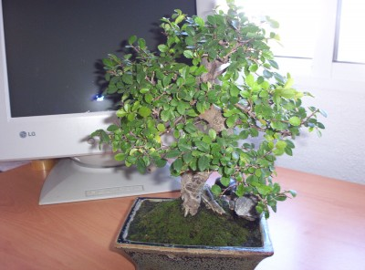 normal_bonsai3%7E0.jpg