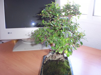 normal_bonsai4%7E0.jpg
