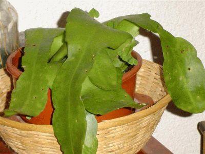 normal_cactus%20sin%20ide%20%28Medium%29.JPG