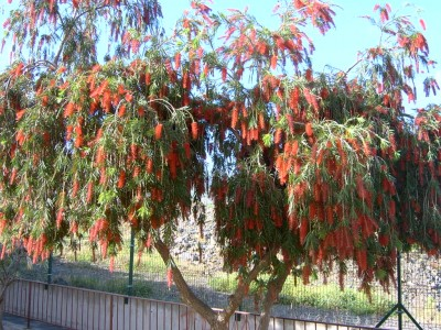normal_callistemon%7E0.JPG