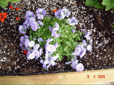 normal_Campanula%20Blue%20Bali%20de%20Cambrils%20com%207%20Abril%2004.jpg