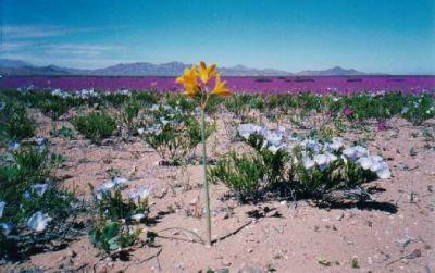 normal_desierto florido.jpg