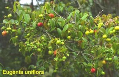 normal_eugenia-uniflora_1.jpg