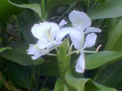 40 plantas ornamentales identificadas for Planta ornamental blanca nieves