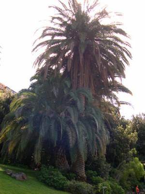 normal_JBC-Palmera-Canaria-01-11-0.jpg
