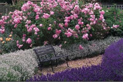normal_lavenderroses2.JPG