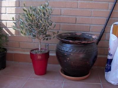 Olivo en maceta novata en su cultivo - Olivo en maceta ...