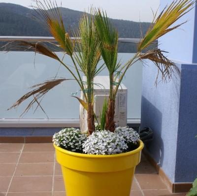 normal_palmera_hojas_secas.jpg