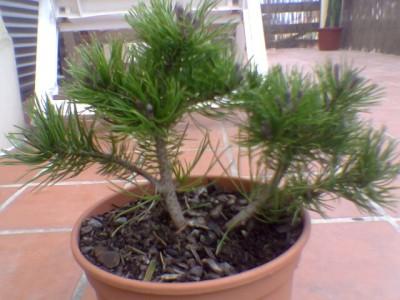 normal_Pinus%20mugo.jpg