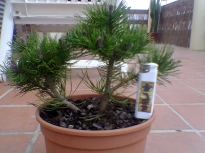 normal_Pinus%20mugoo.jpg